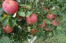 Уход за плодоносящими деревьями. Вопросы и ответы