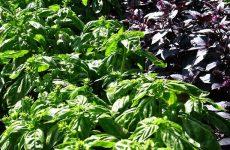 Базилик: выращивание без лишних хлопот