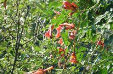 Кампсис в саду — «за» и «против»