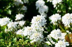 Иберис. Испанская экзотика в наших цветниках