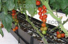 Выращивание томата в теплицах
