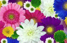Хризантема — секреты пышного цветения хризантем