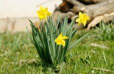 Нарциссы — солнечные цветы весны