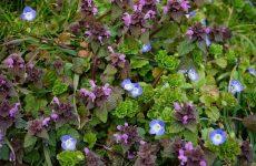 Вероника. Нежный цветок с сильным характером