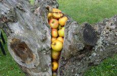 Удаление старой яблони своими силами