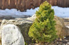 Украшаем сад вечнозелёной елью