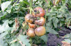 Обзор болезней томатов с фото