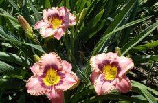 Лилейник — универсальный цветок для дачи