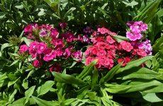 Гвоздика китайская — неприхотливая красавица в вашем саду