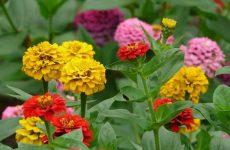 Цинния — яркие краски лета