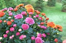 Корейские хризантемы — опыт выращивания