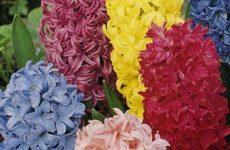 Гиацинт – цветок дождей