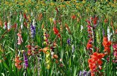 Гладиолус — любимчик цветоводов