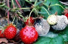 Болезни земляники садовой и борьба с ними