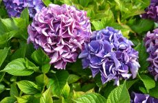 Гортензия украсит любой сад