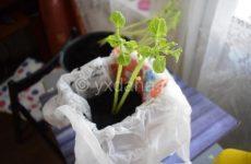 Как вырастить картофель на подоконнике