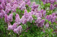 Фото цветущих кустарников