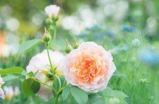 Роза в цветочных композициях сада