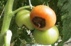 Болезни томатов: описание с фото и способы лечения