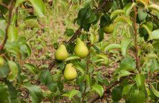 Внесение удобрений под яблони и груши