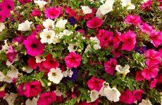 Петуния – душистый запах лета