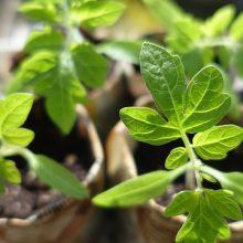 Выращивание рассады от А до Я