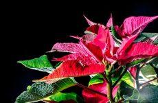 Рождественская звезда на вашем подоконнике