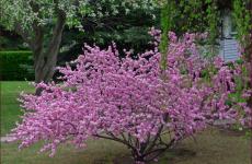 Луизеания — розовое чудо!