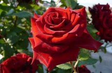 Роза — королева сада. Ответы на важные вопросы