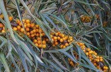 Облепиха — желанное растение в нашем саду
