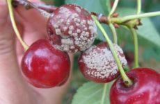 Болезни вишни и сливы