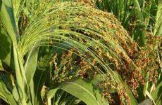 Выращивание сорго на приусадебном участке