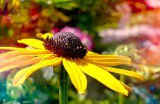 Рудбекия — солнечное чудо