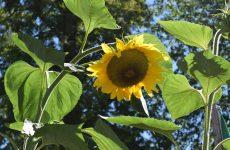 Сезонные работы в саду в августе