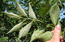 Как бороться с тлей на сливе (вишне, яблоне)