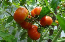 Выращивание здоровых томатов