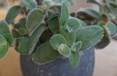 Традесканция — неприхотливый цветок для вашего дома