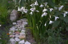 Ацидантера. Новый цветок в нашем саду