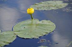 Кубышка желтая цветок для водоема