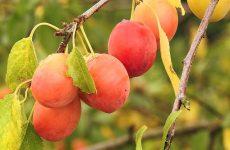 Подбор сорта сливы для плодового сада