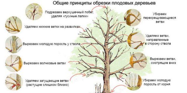 Принципы обрезки деревьев