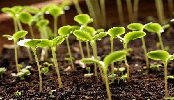 Стратифицированные семена
