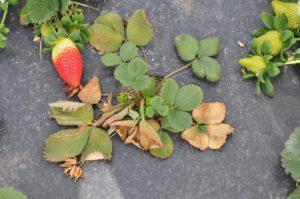 Увядание листьев земляники