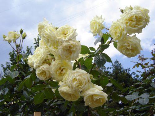 """Плетистая роза """"Эльф"""""""