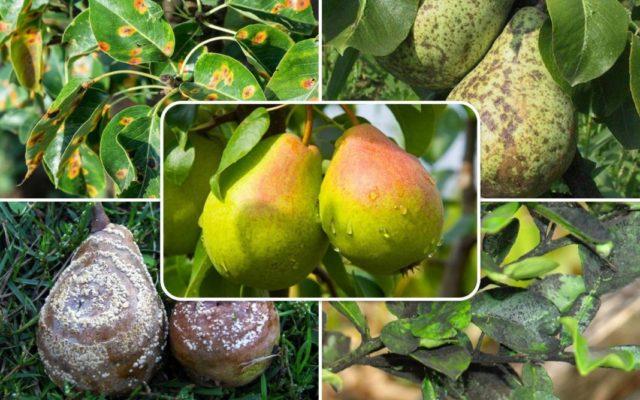 Болезни яблони и груши