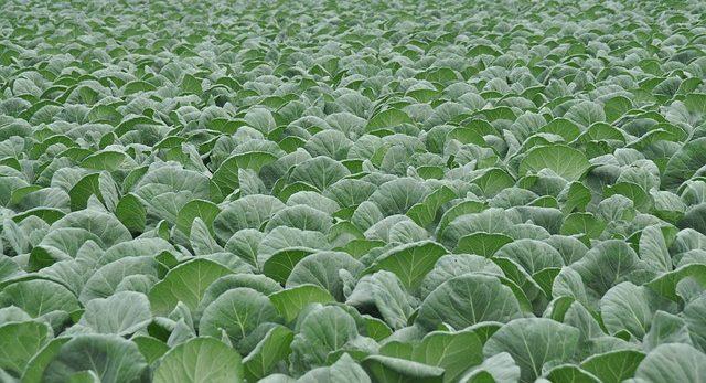 Популярные сорта капусты
