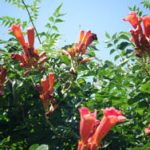 Цветы кампсиса