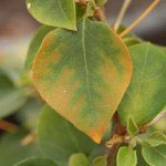 Недостаток калия в листьях