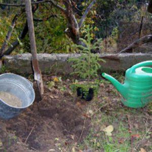 Подготовка ямы под ель
