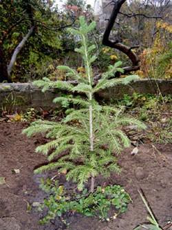 Садим елку на даче
